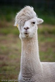 "Alpaca with fabulous hair"" data-componentType=""MODAL_PIN"