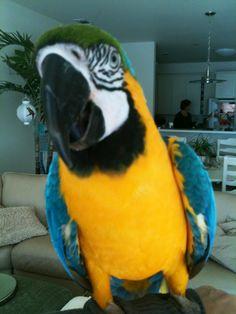 Elvis the Macaw