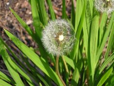 Dandelion Tea  http://www.livestrong.com/article/430666-dandelion-for-water-retention-and-blood-pressure/