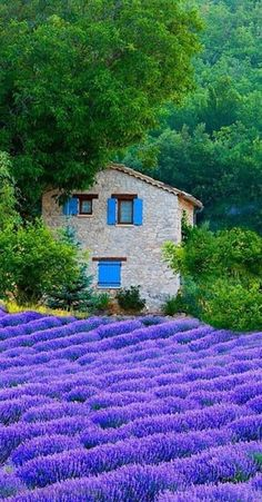 Lush lavender field in Provence, France • photo: Jim Zuckerman on Shutterbug