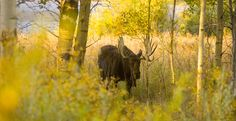 A moose stands out in the fall colors in #JacksonHole, #Wyoming | Inspirato #travel