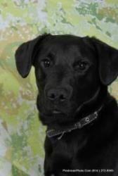 Benji is an adoptable Black Labrador Retriever Dog in Columbus, OH.  ...
