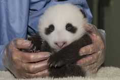 UPDATE! Help San Diego Zoo Name This Panda Cub (2 Photos, 1 Video)