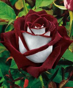 "Osiria Rose. Imma call it the ""OU Rose""  Crimson & Creme"