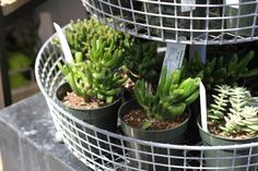 Tips on keeping succulents indoors