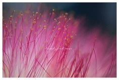 Mimosa Bloom Photo Mimosa Tree Pink Magical by BitsofLifeImages, $30.00