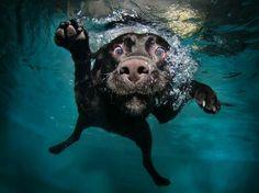 dog photos, chocolate labs, pet, underwater dogs, dog photography, puppi, labrador retrievers, friend, black labs