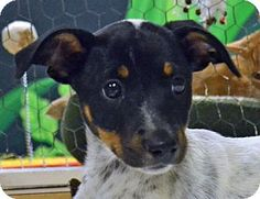 Searcy, AR - Blue Heeler Mix. Meet Clara, a puppy for adoption. http://www.adoptapet.com/pet/11288168-searcy-arkansas-blue-heeler-mix