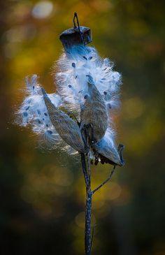 seed pods, milkwe pod, children, seeds, flowers, flower rebirth, blues, beauti blue, milkwe seed