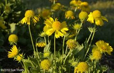 "Mesa yellow blanket flowers... 10-12"" tall perennial"