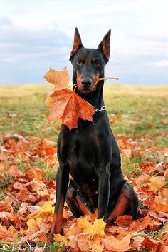 Beautiful Black and Tan Doberman Pinscher with Cropped Ears