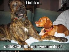 weenie dogs, funny dogs, small dogs, dachshund, funny pictures, funni, weiner dogs, little dogs, big dogs