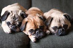 pug puppies, pug life, dog food, puppy dog eyes, pugs, pug dogs, pet food, baby animals, friend