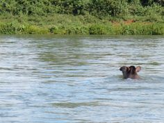 A rare male tapir crossing the Iguazu River towards our yerba mate reserve. There are only 50 left in Argentina.