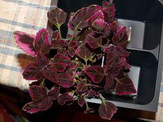 "Coleus ""Plum Brocade"" Trailing coleus.  This needs good water.  Use lots of moisture crystals in soil."