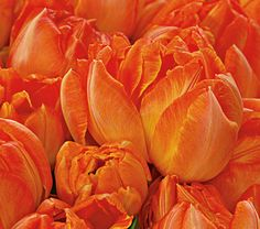 """Tulip Monte Orange    In the spring sunshine, the bowl-shaped blossoms of this Double Early hybrid open wide their rows of bright orange petals, displaying the strong yellow of their centers that extends up the petal ribs. These sturdy, long-lasting flowers are a great choice for containers. Early midseason.    The very name Tulip is magic, for everyone knows this fine genus. We call these flowers the """"lipsticks of the garden"""" because they provide a finishing touch that brings spring borders to"""