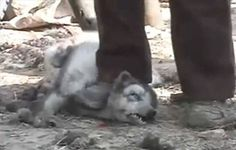 Skinned alive to make fake Ugg boots. One of the poor animals has its neck stepped on in order to stop it wriggling. Horrifying.