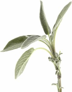 Sage; Can be used for: Anxiety, Body Odor, Canker Sores, Colds & Congestion, Concentration, Digestive Problems, Foot Problems, Healthy Skin, High Cholesterol, Laryngitis, Memory, Night Sweats, Perspiration, Ringworm, Sinusitis, and Sore Throat. **Good to know** Don't use sage medicinally when you're pregnant or breastfeeding, and don't give medicinal amounts to children.