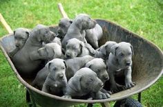 I'll take them all or just one, but I really want a female blue great Dane!