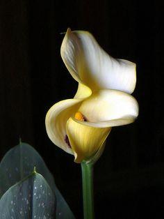 flowers lilies, calla lili, beauti flower