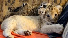 Unlikely Animal Friends: Cute Lion Cub and Meerkats