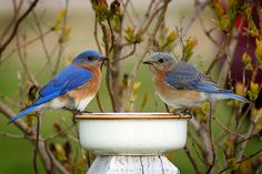 Just the Two of Us - bluebird photo by Bill Pevlor of PopsDigital.com. #birds #bluebirds