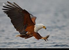 Fish Eagle by Stephen Earle | 500px Prime