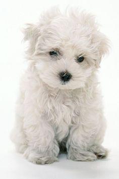 <3 #yorkiepoo #dogs #cute