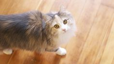 Buying a Siberian cat: Is it worth it?