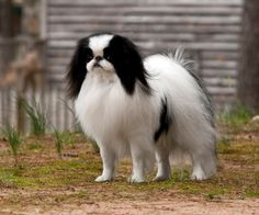 Japanese Chin, GCH CH Chindale Oriental Infusion