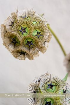 Scabiosa Stellata, apparently. I absolutely love these, especially when they have such bright green centers.