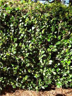 Ligustrum, fast growing evergreen shrub that produces lots of privacy and white flowers