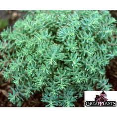 Sedums are wonderful for year-round foliage. Shown here is Sedum tatarowinii 'Mongolian Stardust', http://nsaplants.org/caregray.html mongolian stardust, winterpersist foliag, tatarowinii mongolian, sedum tatarowinii, yearround foliag