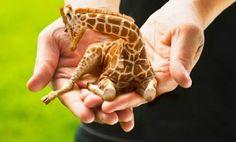 Mini giraffe.