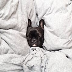 sleeping dogs, sunday morning, animal pictures, get out of bed, french bulldogs, puppi, saturday morning, black frenchie, sweet dreams