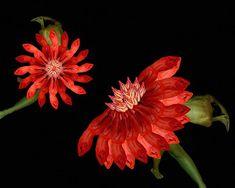 Human Flowers