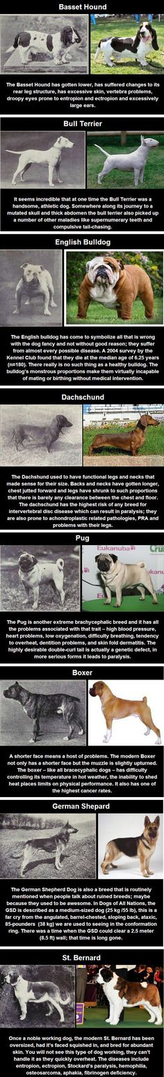Dog breed changes after 100 years of breeding.