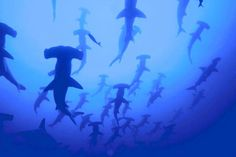 School of Scalloped Hammerhead Sharks