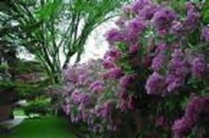 How to Transplant Lilac Bushes