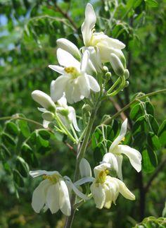 EDIBLE MORINGA FLOWERS