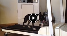 Watch this Boston Terrier Doing his Jogging When the Weather is Not Good Outside! ► http://www.bterrier.com/?p=6688 - https://www.facebook.com/bterrierdogs