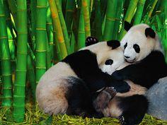 Pandas... OMG!!! Tears... I'm dying, so cute!!!! <3