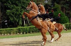Horse cultures: French cavaliers in a perfect baroque pose (levade) with their Selles Francais horses (Cadre Noir de Saumur)
