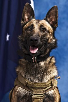 Special Operations MWD Devil.  Belgian Shepherd.  Born April 14, 2009.  Trialled in mid-late 2010 and posted to the SASR.  Deployed to Afghanistan in February last year with SOTG rotation 15.  Deployed again to Afghanistan in February 2012 and was killed in action on July 2.  Devil provided early warning of an enemy fighting position. He was targeted by an insurgent at close range and killed instantly by small-arms fire. anim friend, balls, hero, special oper, afghanistan, working dogs, beauty, 3 year olds, amaz anim