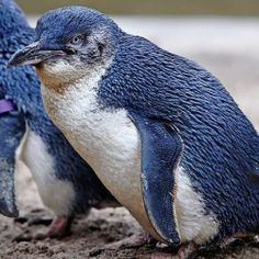 """These cute little blue penguins, known as both Blue Penguins and Fairy Penguins are now officially known as """"Little Penguins""""...."""