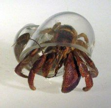 Glass shells for hermit crabs...