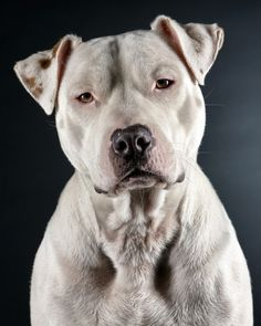 Dog Fighting: 10 Ways You Can Help Put an End to It Right Now!