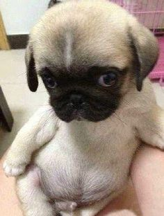 anim, pet, baby pug, pugs, ador, puppi, dog, babi pug, thing