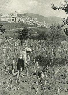 Italian Vintage Photographs ~ #Italy #Italian #vintage #photographs #family #history #culture ~ Piantagioni di grano ad Assisi, National Geographic, marzo 1940 #TuscanyAgriturismoGiratola