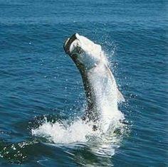 Tarpon fli fish, saltwat fish, tarpon fish, buckets, saltwater fly fishing, fish bucket, fishing tips, fli rod, bucket lists